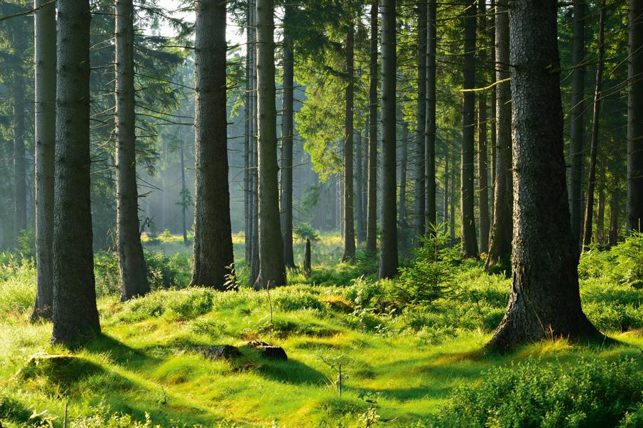 Wald Fichtenholz Picea Flyer